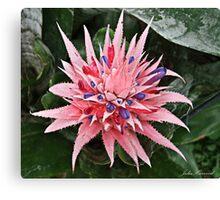 Pink & Purple Bromeliad Flower Canvas Print