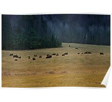 In The Prairies, Bison Relaxing Poster