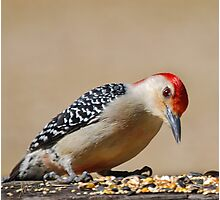 Male Redbellied Woodpecker Photographic Print