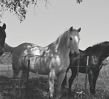 Horses black and white  by franceslewis