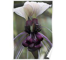 tacca - (bat flower) Poster