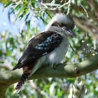 Kookaburra Sits in the Old Gum Tree! by Gabrielle  Lees