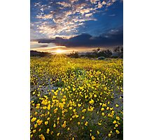 Mojave Poppies at Sunrise Photographic Print