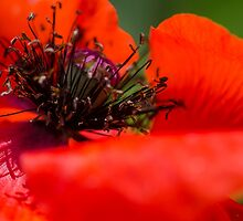Poppy  by Nicole  Markmann Nelson
