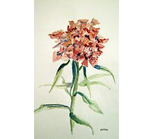 Floral Study Sketch - Sweet Williams Photographic Print