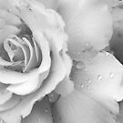 White Rose by Eve Parry