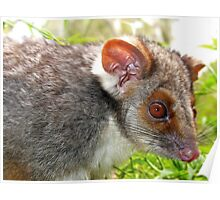 Ringtail Possum Poster