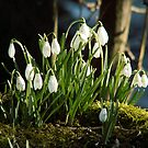 Snowdrops in the sunshine by Luckyman