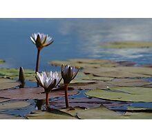 Lillies in the Okavango Delta Photographic Print