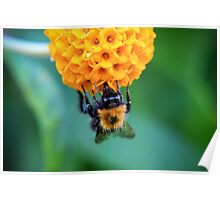 Bee on the orange ball Poster