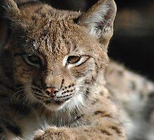 Lynx Lookin by Kathy Newton