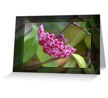 Pink Hoya Greeting Card