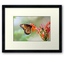 Queen Butterfly (Danaus gilipus) Framed Print
