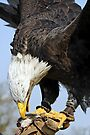 Bald Eagle with lure by David Carton
