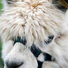 Alpaca portrait (Vicugna pacos) by buttonpresser