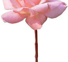 PINK ROSE by Olga Chetverikova