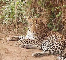 Leopard by CriscoPhotos