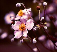 White Blush by fabiela