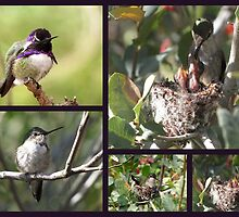 Costa's Hummingbird ~ Family Portrait by Kimberly Chadwick