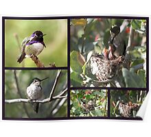 Costa's Hummingbird ~ Family Portrait Poster