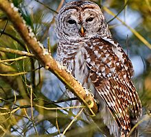 Barred Owl in Tree - Brighton, Ontario by Michael Cummings
