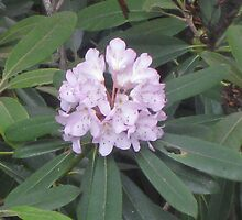 Wild Rhododendron by JRSousa