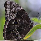 Blue Morpho Butterfly by Dennis Stewart