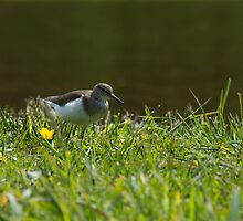 Common Sandpiper by M.S. Photography/Art