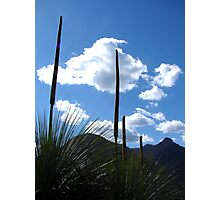 Grass Tree Flowers - Mt Warning Photographic Print