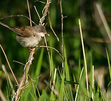Common Whitethroat by M.S. Photography/Art