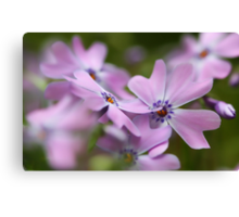 --Pink Spring Phlox-- Canvas Print
