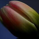 Tulip Series 1 by Sharon Ulrich