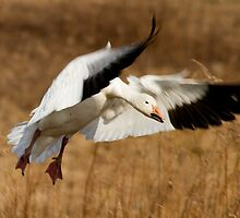 Snow Goose Landing by Mark Van Scyoc