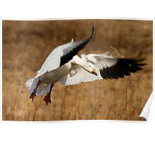 Snow Goose Landing Poster