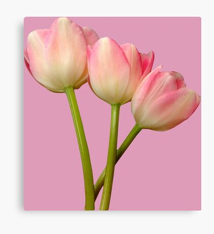 Fairy pink tulips Canvas Print
