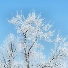 Hoar Frosted Tree Top by kenspics