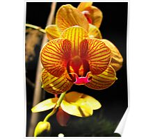 Striped Orchid Poster