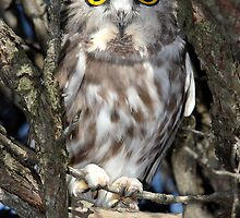 Northern Sawhet Owl/ Eight Inches Tall  by Gary Fairhead