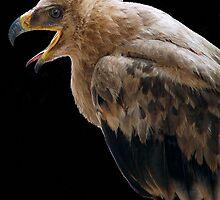 THE TAWNY EAGLE – *Aquila rapax* - True eagles by Magaret Meintjes
