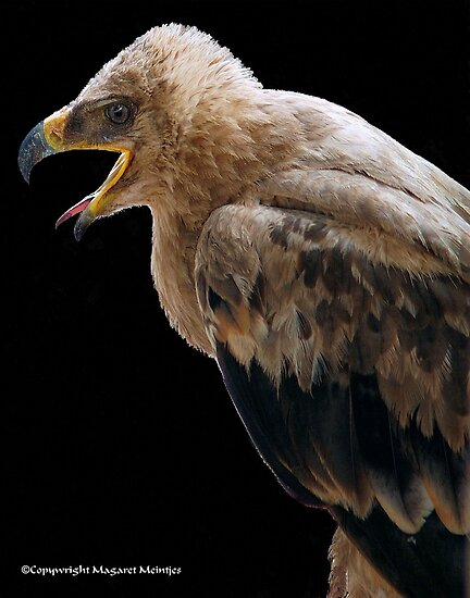 THE TAWNY EAGLE – *Aquila rapax* - True eagles by Magaret Meintjes
