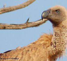 UP CLOSE - *Cape (Griffon) Vulture* Gyps coprotheres by Magaret Meintjes