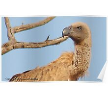 UP CLOSE - *Cape (Griffon) Vulture* Gyps coprotheres Poster