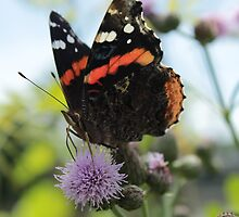 Red Admiral Butterfly by jartcreations