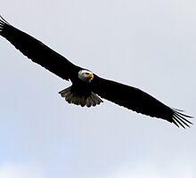 Bald Eagle Hunting Over Fern Ridge by Chuck Gardner