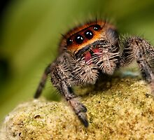 A cute Jumping spider by Scott Thompson