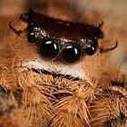 Jumping spider around 3.5X life size by Scott Thompson