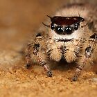 jumping spider by Scott Thompson