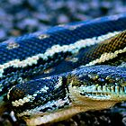 Afternoon Warmth-Carpet Python by Michael Hallam