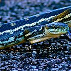 Blue Tongue-Carpet Python  by Michael Hallam