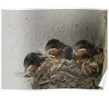 Barn Swallow Babies Poster